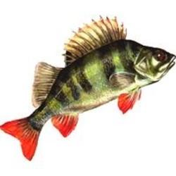 Удаление запаха тины из речной рыбы.